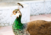 Indian Blue Peacock at Barsana Dham